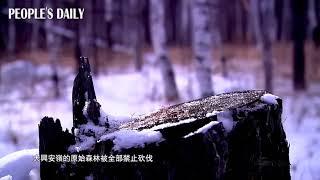 【大興安嶺原始森林保護——中國內蒙古】