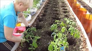 Высадила первую партию томатов 21 апреля.  Чем заправила лунки.