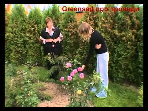 Чайно-гибридные розы. Особенности группы