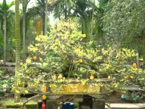 cây khế cảnh nổi tiếng