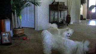 Pomeranian And Maltese Performing Dog Tricks (sasha And Missy The Wonder Dogs)