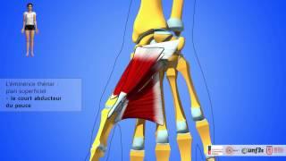 Les muscles de la main. Présentation et rapports.
