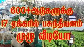 600+ ஆடுகளுக்கு 17 ஏக்கரில்  பசுந்தீவனம் முழு வீடியோ
