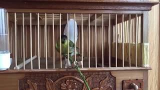Siskin Птица Чиж