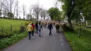 Transhumance AUBRAC 2014 Cropières Raulhac Cantal France (nouveau)