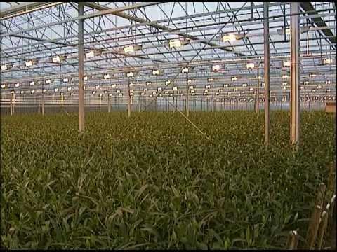 Выращивание лилий в Голландии