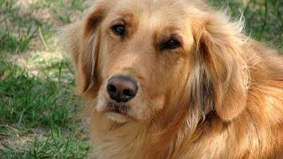 Golden Retriever Potty Training Tips- Free Mini Course