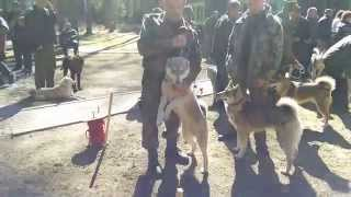 Межрайонная выставка охотничьих собак