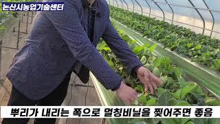 논산딸기 수경재배 정식방법, 비닐멀칭방법