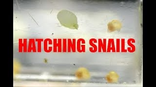Hatching baby snails, Snails first steps! Sunday Fun day BONUS video!