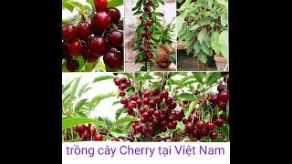 Trồng cây Cherry trong chậu và ngoài đất đơn giản nhất