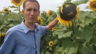 Урожай подсолнечника - семена сорта Люкс - видео 1(, 2017-01-13T17:28:49.000Z)