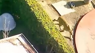 Mountain lion tranquilized iฑ backyard outside Los Angeles