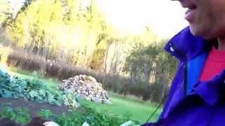 Harvesting Rutabaga 16.5th Week #22 Heirloom Organic Vegetable Garden