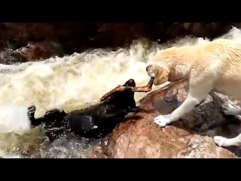 Epic dog rescues: Hero dog saves pal from being swept away; SPCA rescues stray dog - Compilation