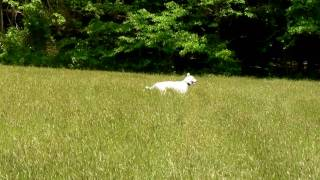 Jindo Dog Playfully Charges Camera During Open Field Chase Idealk9.com