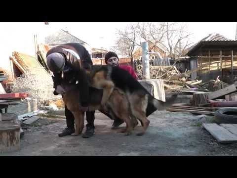 Немецкая овчарка вязка (German Shepherd) Mating In Dogs
