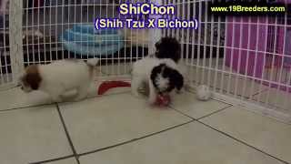 ShiChon, Puppies, For, Sale, In, Des Moines, Iowa, IA, Bettendorf, Marion, Cedar Falls, Urbandale, A