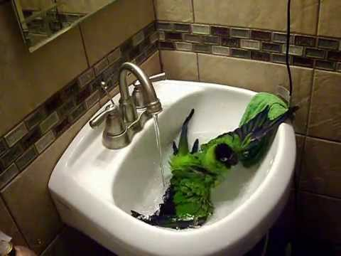 Pet Nanday Conure Parrot Bathing|Pretty Bird Enjoying a Bath|Funny Parrot Taking a Bath In The Sink