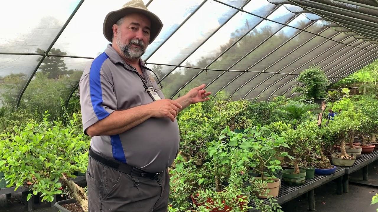 Visiting Pedro Morales At Futago Bonsai Puerto Rico Youtube