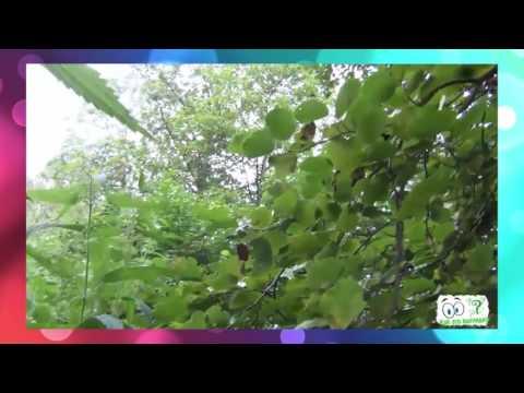 Как выглядит дерево Ольха