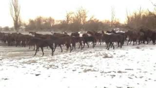 Адыгэш (кабардинская порода лошадей)