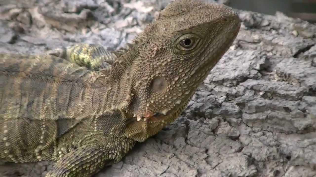 Australian Water Dragon: Australian Water Dragons (Part 3)