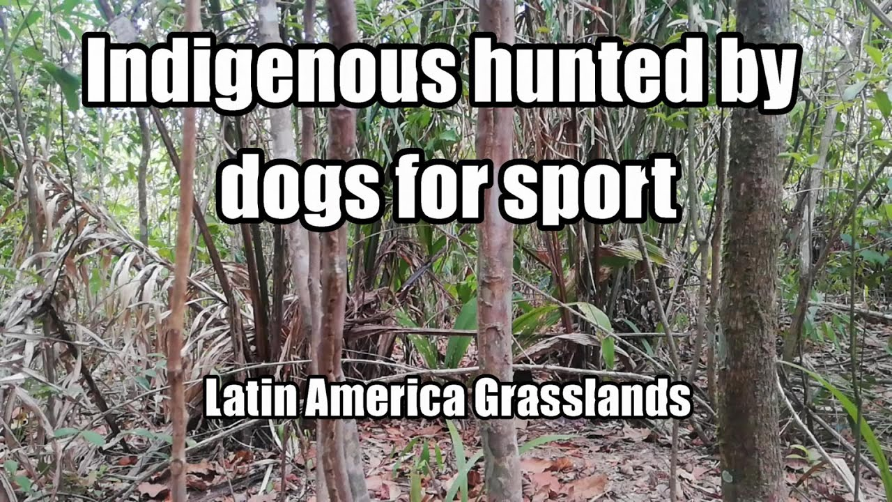 Indigenous hunted by dogs under conquerors blessed by the pope