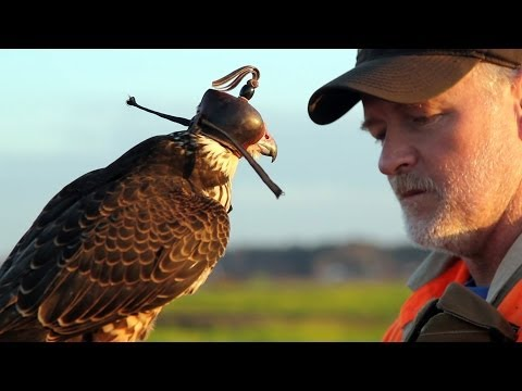 Hunting with a Passage Peregrine Falcon in South Carolina