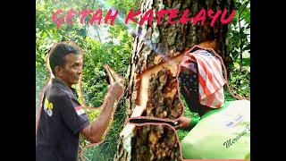Download MENCARI GETAH KATILAYU DAN PEMIKAT IKAN