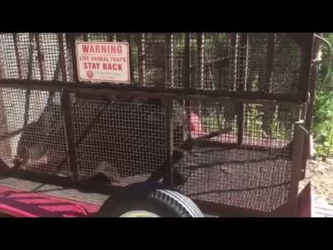 Trapped Bear - Jamestown - July 23, 2016