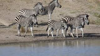 Zebra drinking water at a waterhole in the African Bush - Animals of Africa