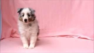 ID番号 : 10010 犬種 : シェットランドシープドッグ 性別 : 男の子(...