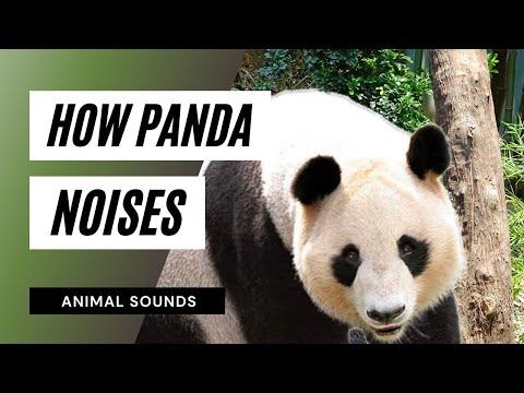 The Animal Sounds: Panda - Sound Effect - Animation