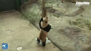 LIVE: Cute, furry ambassadors! Giant panda pair to meet public in Finland