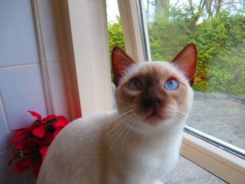 Our Lilac Point Siamese cat Alex . Winter  and rainy day.
