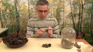 Как вырастить сосну. Получение, хранение семян. Часть 2.