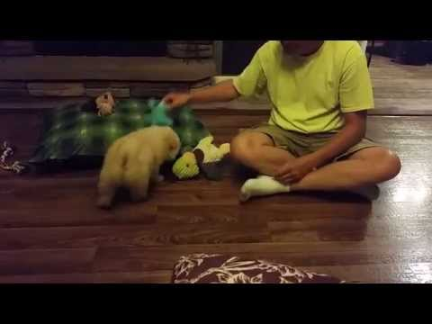 Chow Chow puppy playing.