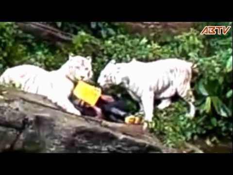 White Tiger Attack at Singapore Zoo(latest edited) Travel Video