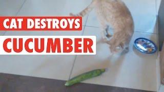 Cat's Cucumber Revenge || Cat vs Cucumber