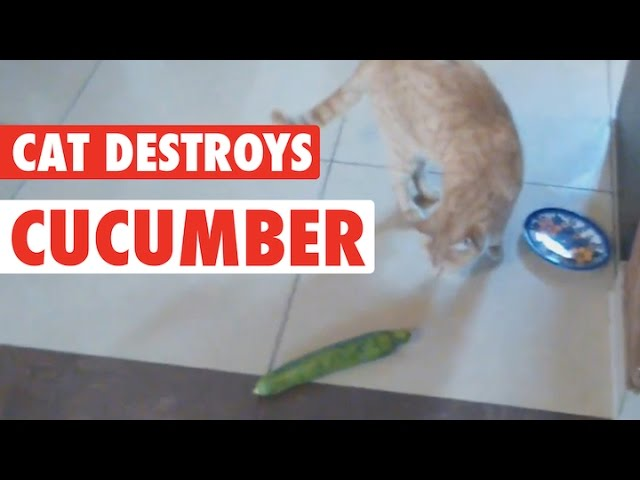 Cat's Cucumber Revenge || Cat vs Cucumber
