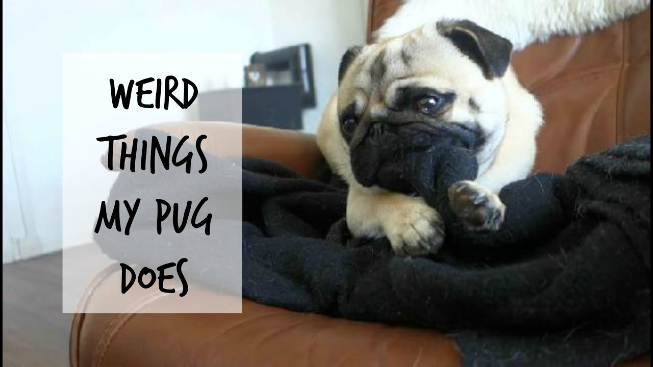 weird things pug pugs dogs stuff funny cute quirky habits does puppies pawbuzz hilarious thinks facts