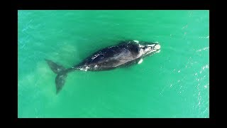 Whale scrubbing against a sandbar in Mossel Bay South Africa