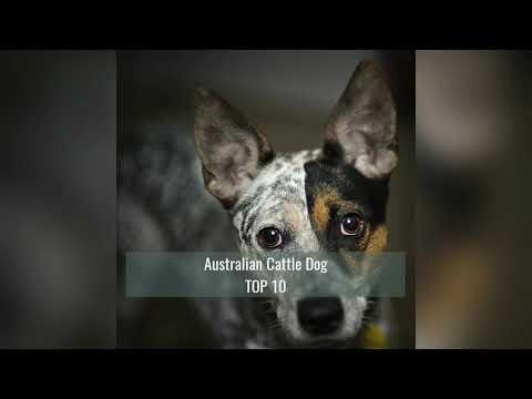 top-10-smartest-dog-breeds
