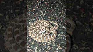Defensive Display of a Rhombic Egg Eater || ViralHog