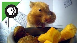 Hamster Stuffing Cheeks