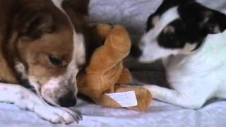 Jack Russell & Corgi Playing With Stuffed Animal