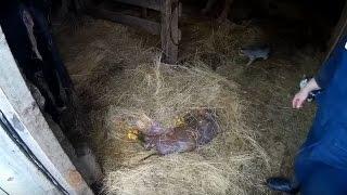 Корова абортировалась // Убытки // Жизнь в деревне.