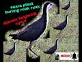 Suara Pikat Ruak Ruak Paling Ampuh  Mp3 - Mp4 Download