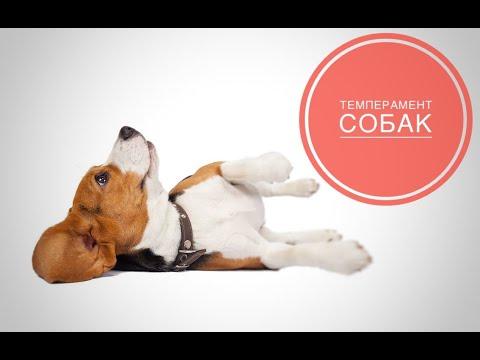 Вопрос: Как проверить темперамент собаки?